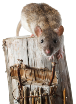 Rat_on_wodden_pole-1