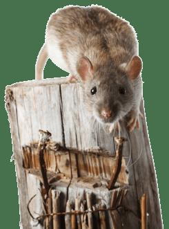 Rat_on_wodden_pole