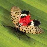 SpottedLanternfly160x160