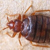 Viking Pest Control - Bed Bug Control-1