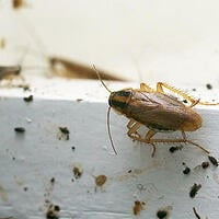 Viking Pest Control - Cockroach Control-1