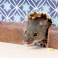 Viking Pest Control - Rodent Control