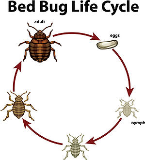bed-bug-lifecycle-small