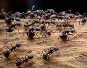 carpenter-ants-blog insert