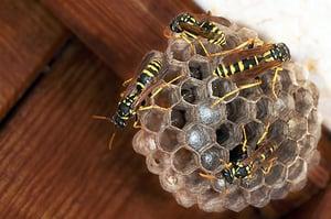 paper-wasp-nest-blog