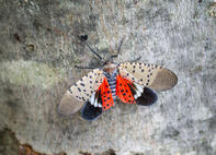 spotted-lanternfly-close-up