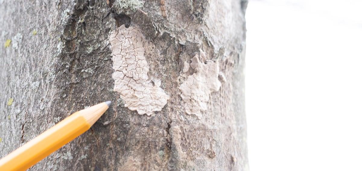 spotted-lanternfly-egg-mass-web-2
