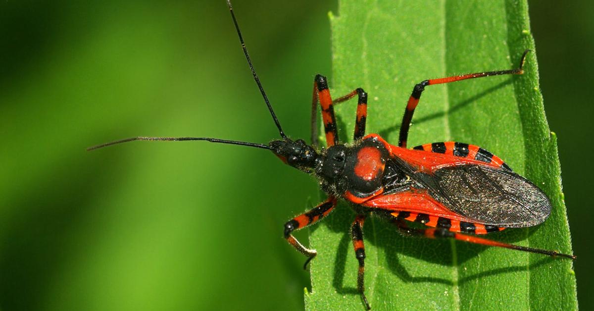 Viking Pest Control - Kissing Bug