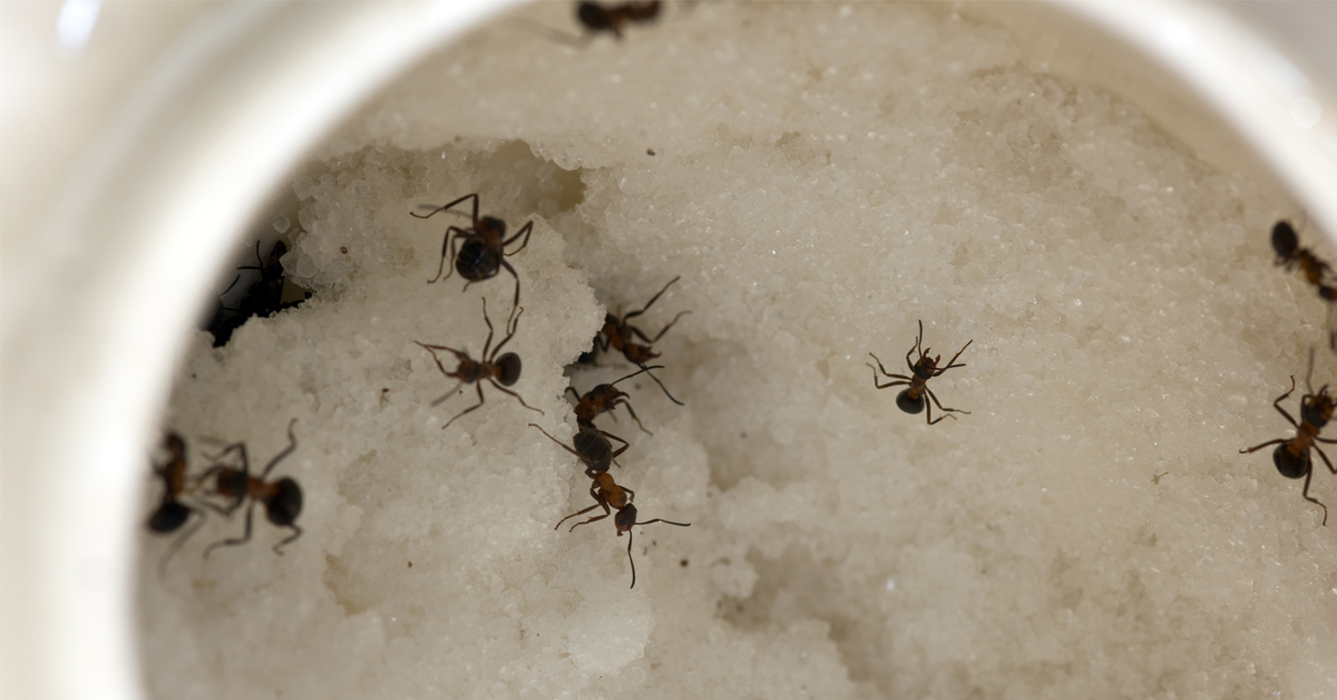 how-to-get-rid-of-house-ants
