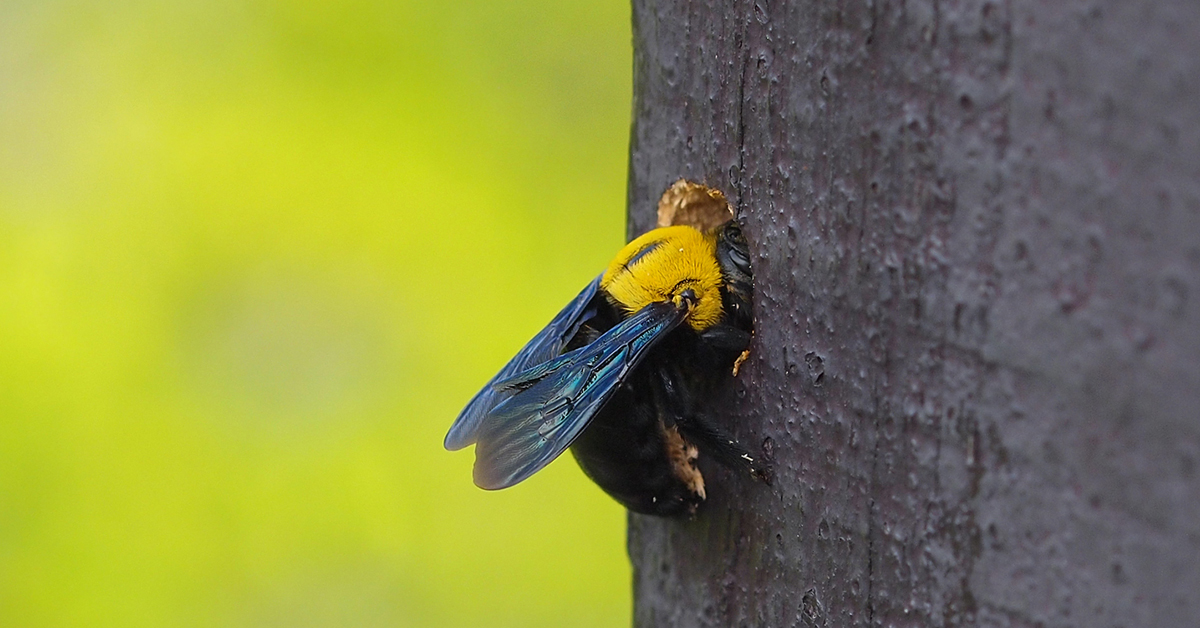 are carpenter bees a threat in essex county nj