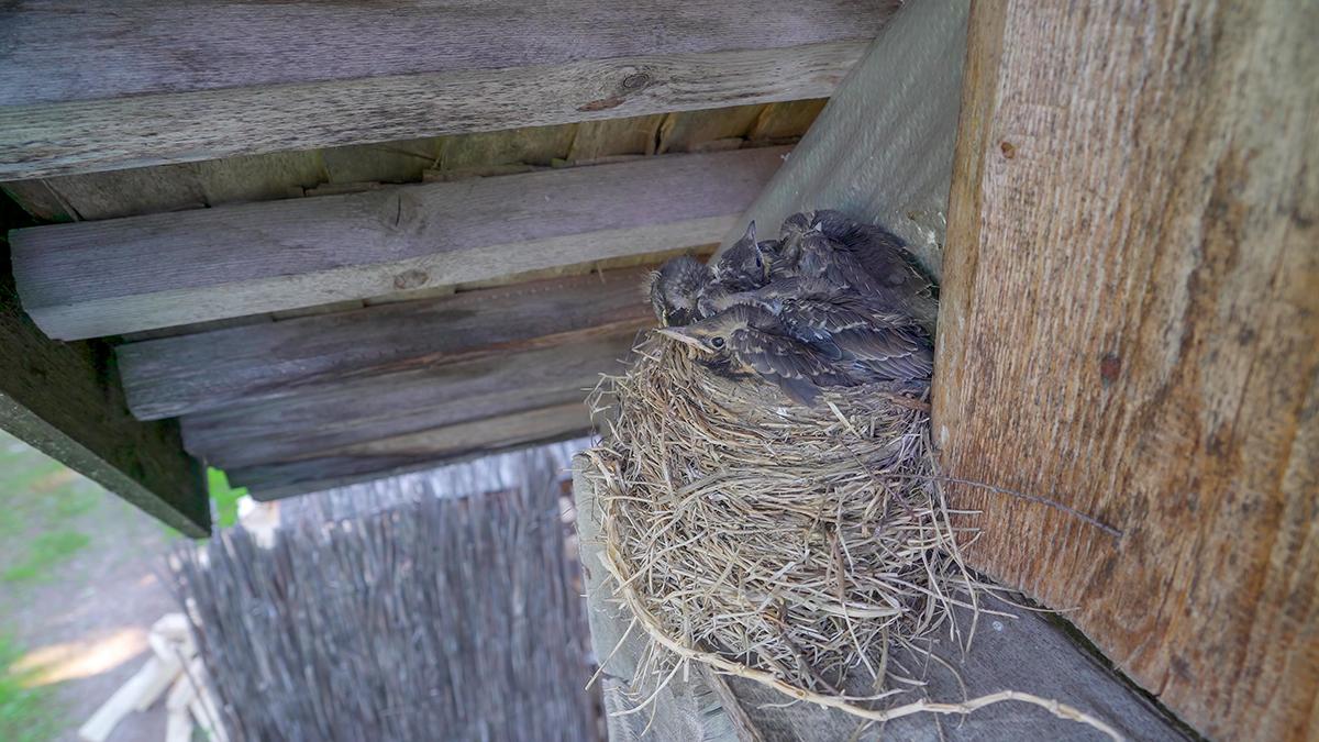 birds nesting in attic-fb-2