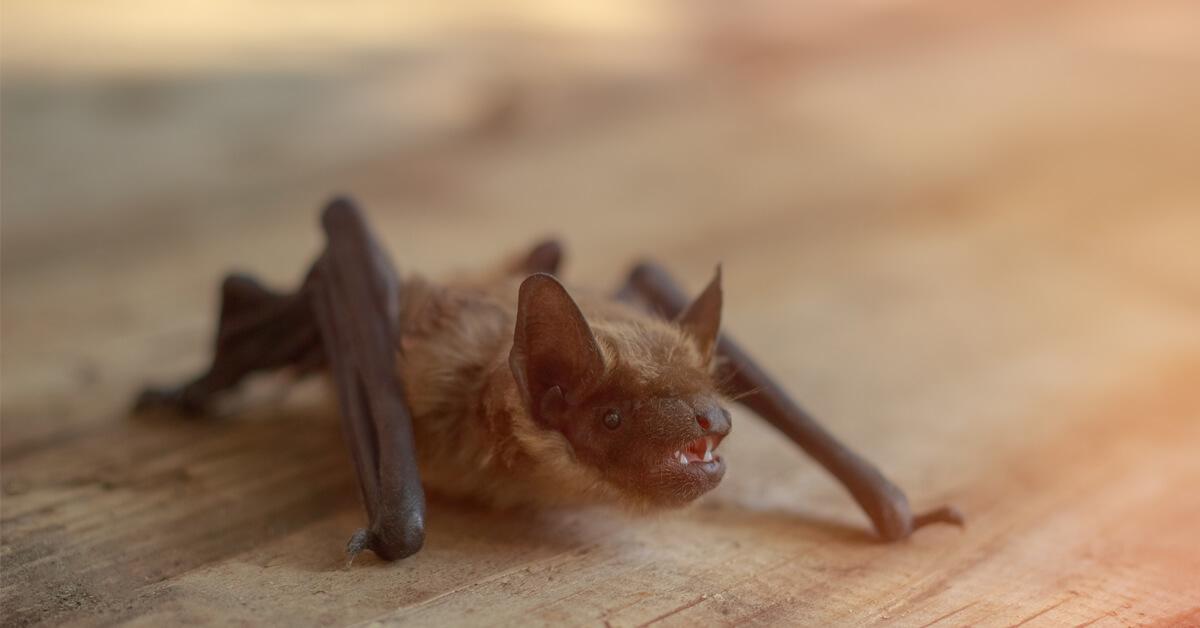 Viking Pest Control - Bats