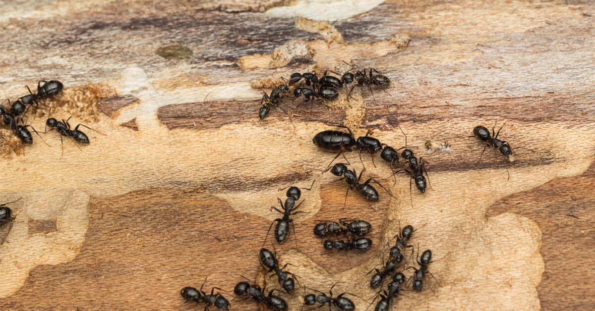 Viking Pest Control - Carpenter Ants