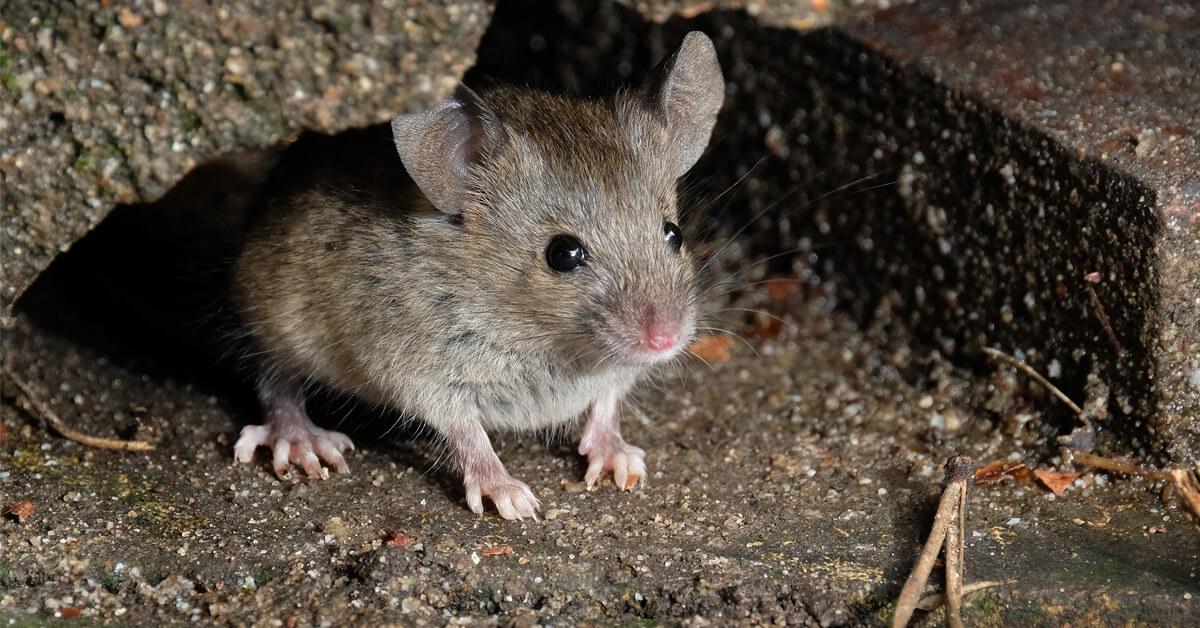 Viking Pest  Control - Mice