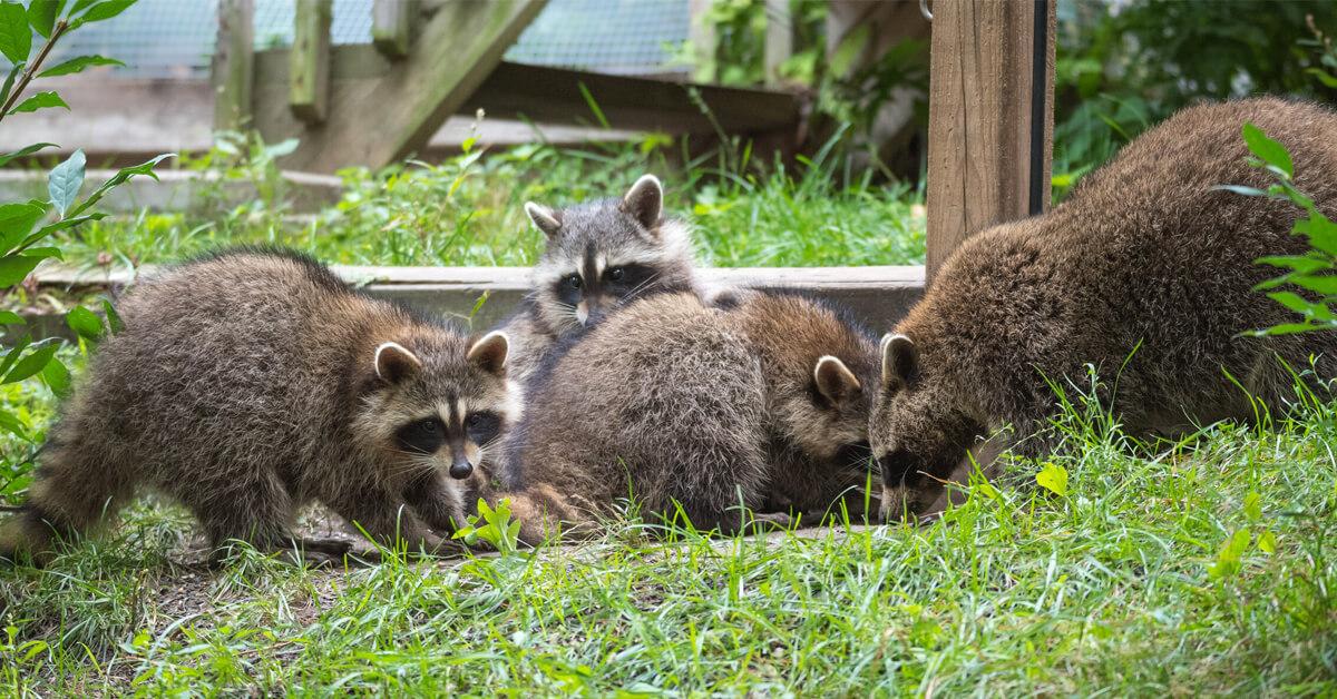 Viking Pest Control - Raccoons