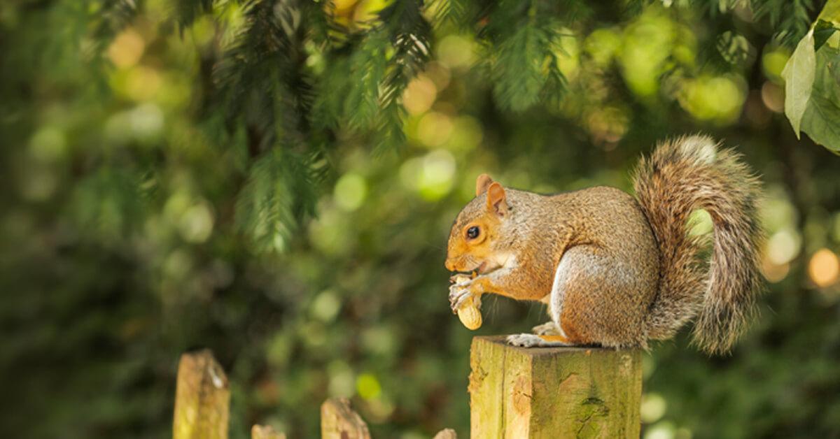 Viking Pest Control - Squirrel