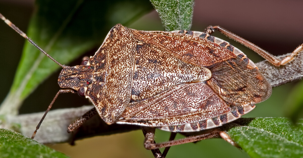 Viking Pest Control - Stink Bugs