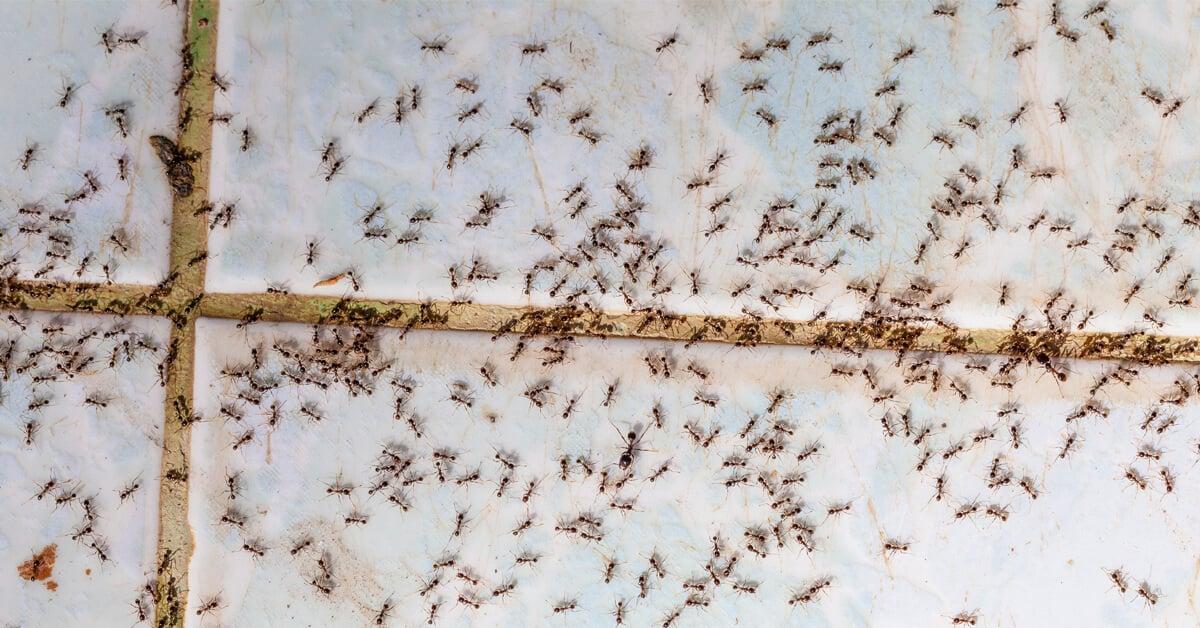 Viking Pest Control - Ants