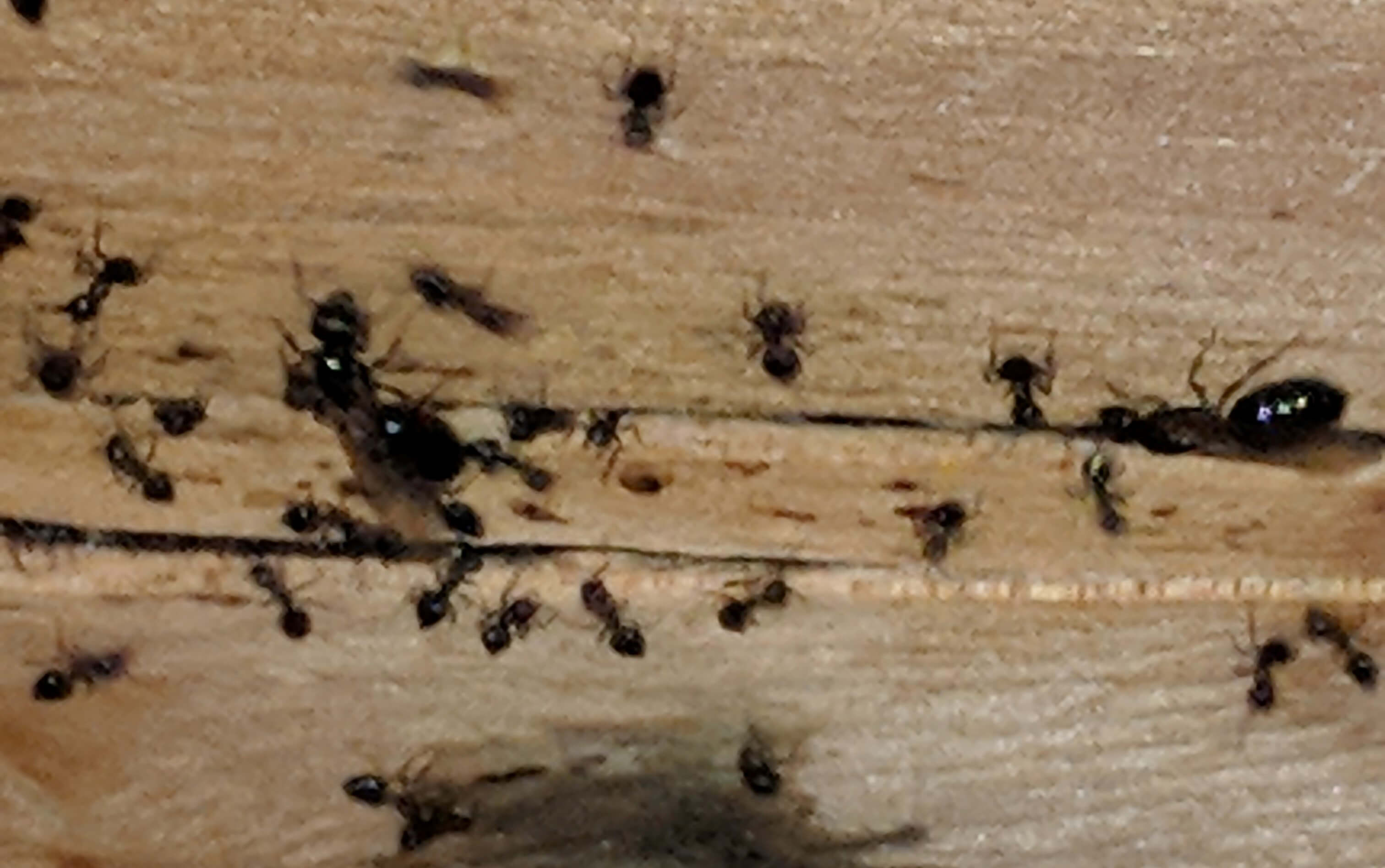 carpenter ants vs odorous house ants