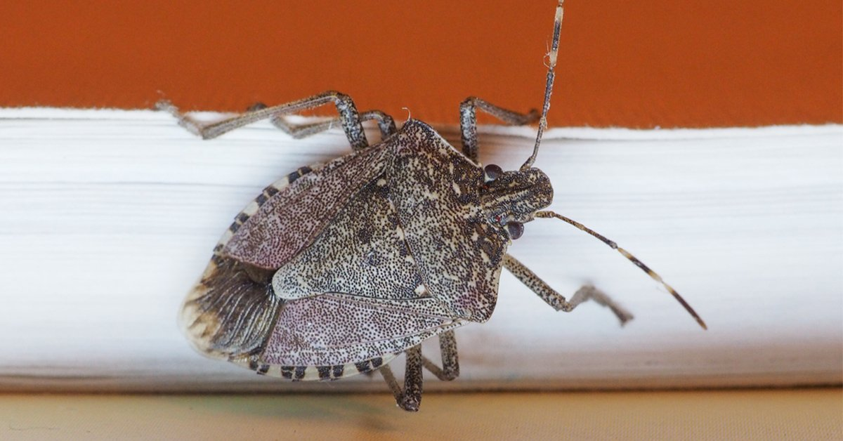 how-to-get-rid-of-stink-bugs