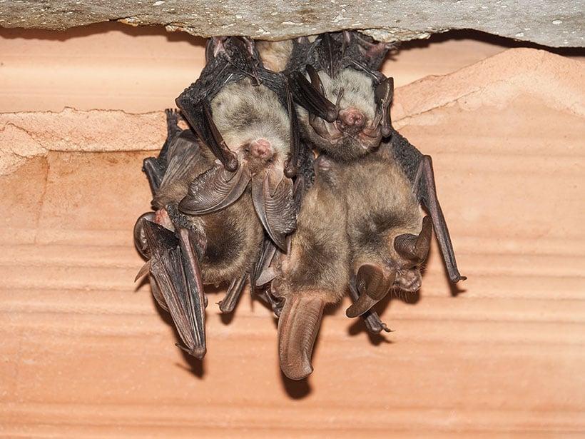 long-earred-bat-pest-control