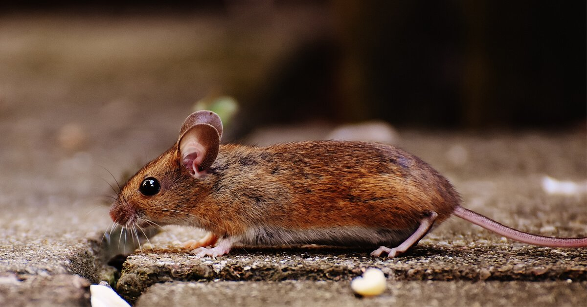 how-to-keep-mice-away-from-your-home