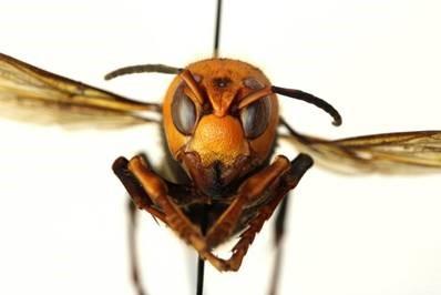 murder-hornet