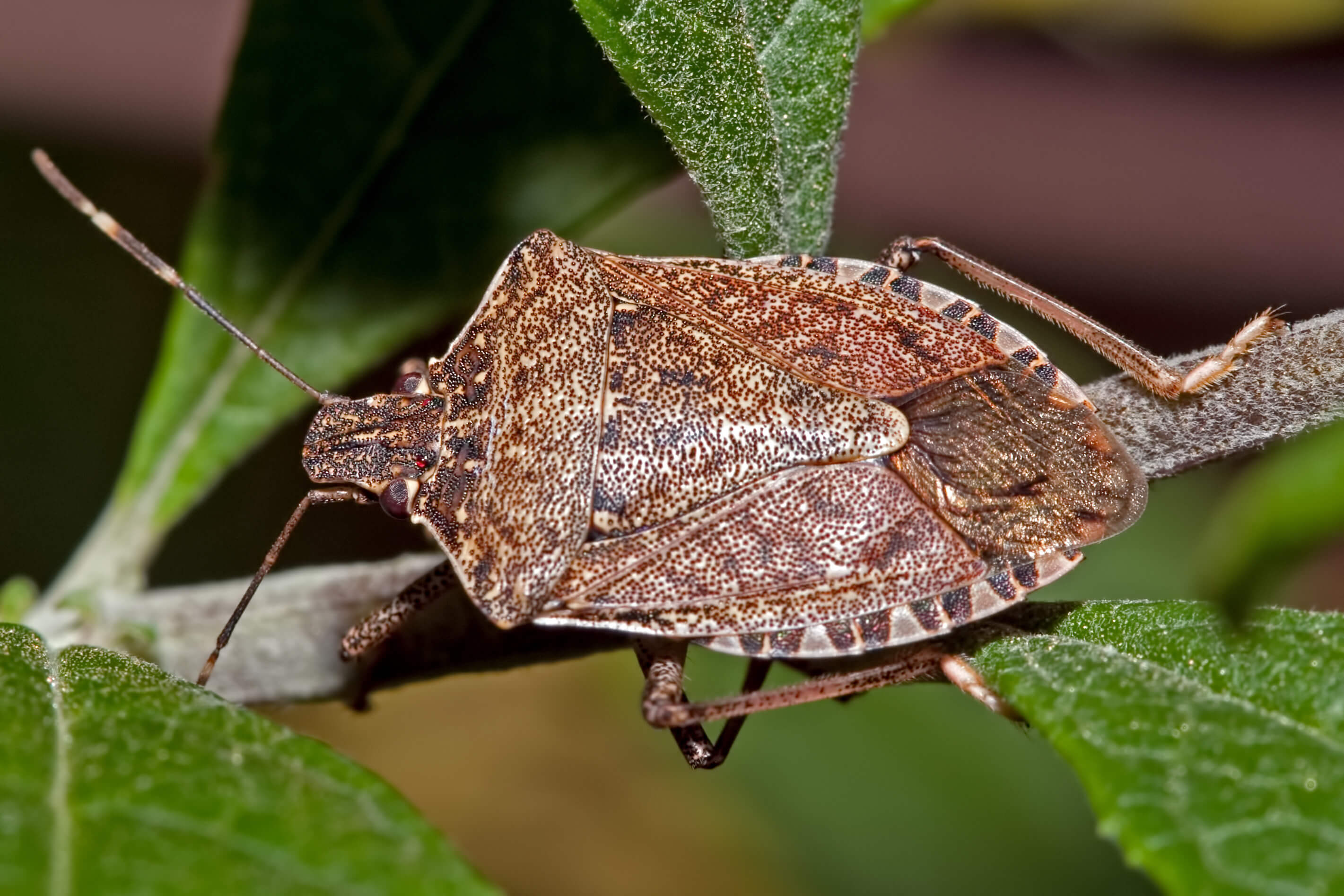 what attracts stink bugs to your home