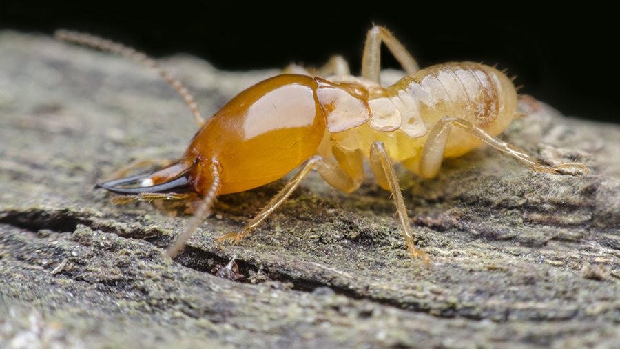 What Do Termites Look Like?